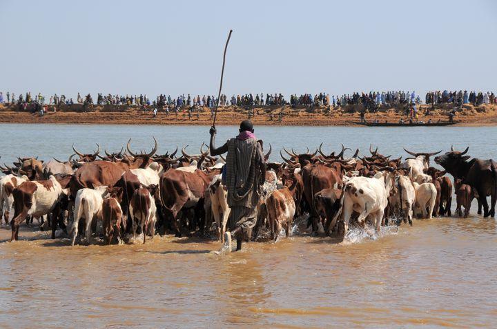 Transhumance au Mali avec la traversée de la rivière Bani (photo prise le 11 mars 2018). (MICHEL RENAUDEAU / ONLY WORLD)