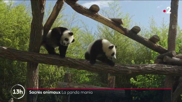 Belgique : dans les coulisses du zoo Pairi Daiza, qui a accueilli deux pandas jumeaux