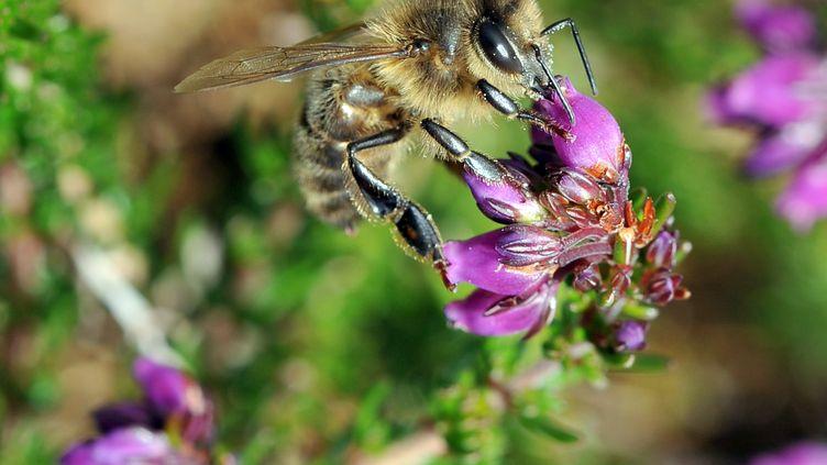 Une abeille butine une fleur (illustration). (FRED TANNEAU / AFP)