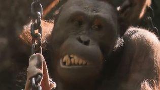 Nénette, un orang-outan du Jardin des plantes de Paris. (FRANCE 2)