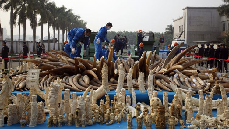 A Dongguan, dans la province de Guangdong (Chine), les autorités chinoises ont détruit 6,2 tonnes d'ivoire, sous forme de défenses ou transformé en objets d'art, le 6 janvier 2014. ( REUTERS)