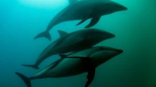 Des dauphins au large de la Nouvelle-Zélande, le 12 septembre 2017. (GEORGE KARBUS PHOTOGRAPHY / CULTURA CREATIVE / AFP)