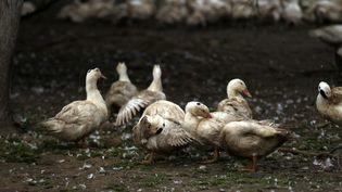 Un élevage de canards visé par une épidémie de grippe aviaire, le 28 janvier 2016, à Lay-Lamidou (Pyrénées-Atlantiques). (MAXPPP)