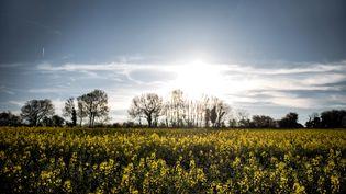 Un champ de colza, près de Lyon. (JEFF PACHOUD / AFP)