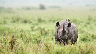 Un rhinocéros noir au Kenya photographié le 17 octobre 2019. (ERIC LE GO / ONLY WORLD)