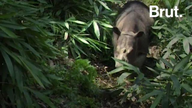 C'est une des espèces les plus menacées de la planète. Mais un programme de préservation a été lancé pour assurer la pérennité de l'espèce du rhinocéros de Sumatra. Explications.