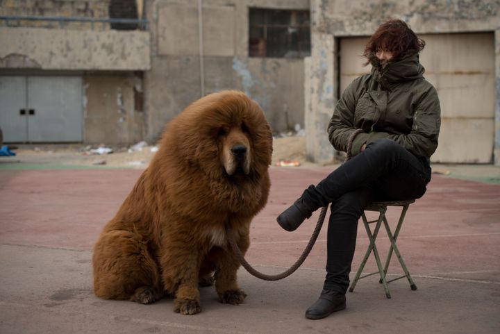 Un mastiff du Tibet est proposé à la vente lors d'une foire à Baoding (Chine), le 9 mars 2013. (ED JONES / AFP)