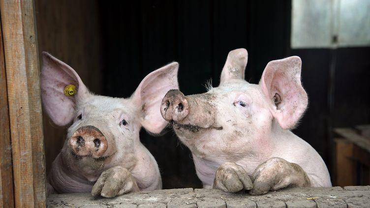 La peste porcine africaine a été détectée en Belgique, ce qui suscite l'inquiétude des éleveurs de porc frontaliers. (LO PRESTI / MAXPPP)