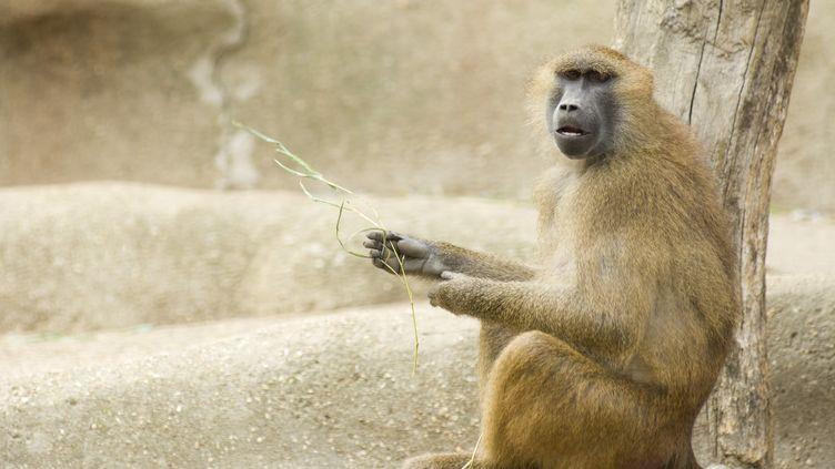 Les chercheurs marseillais ont appris des mots à des babouins de Guinée (Papio papio) comme celui-ci. (MICHÈLE CONSTANTINI / ALTOPRESS / PHOTOALTO / AFP)