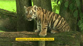 Naissance rare de deux tigrons au zoo de la Bourbansais, en Ille-et-Vilaine (France 3 Bretagne)