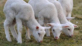 Des agneaux broutent dans un pré à Ihlow, dans le nord de l'Allemagne, le 26 mars 2013. (INGO WAGNER / DPA / AFP)