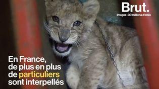 VIDEO. De plus en plus de lionceaux utilisés comme animaux de compagnie (BRUT)