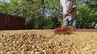 C'est probablement l'un des meilleurs cafés au monde et il est français. En Guadeloupe, un producteur vient de liquider la totalité de son stock à l'issue d'un contrat en or signé avec des Japonais. Le café leur sera présenté comme un produit de luxe. (France 3)