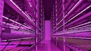 Au Royaume-Uni, une ferme cultive des herbes aromatiques à la verticale, dans des rayons de 12 mètres de haut. (FRANCE 2)