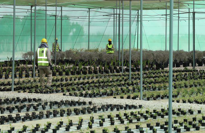 Des employés travaillent dans la pépinière créée pour la Coupe du monde 2022, le 22 février 2018, à une heure environ de Doha (Qatar). (KARIM JAAFAR / AFP)