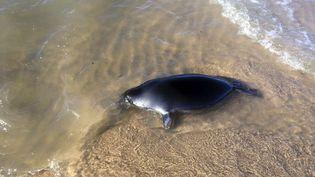 Un phoque mort, échoué sur le rivage, le 29 octobre 2017, au bord du lac Baïkal en Sibérie (Russie). (OLEG MACHULLSKIY / AP / SIPA)
