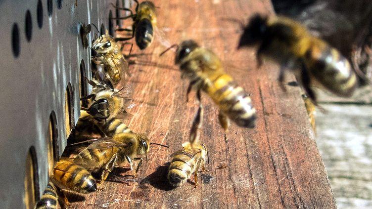 Des abeilles sur le cadre d'une ruche, en 2017. (MAXPPP)