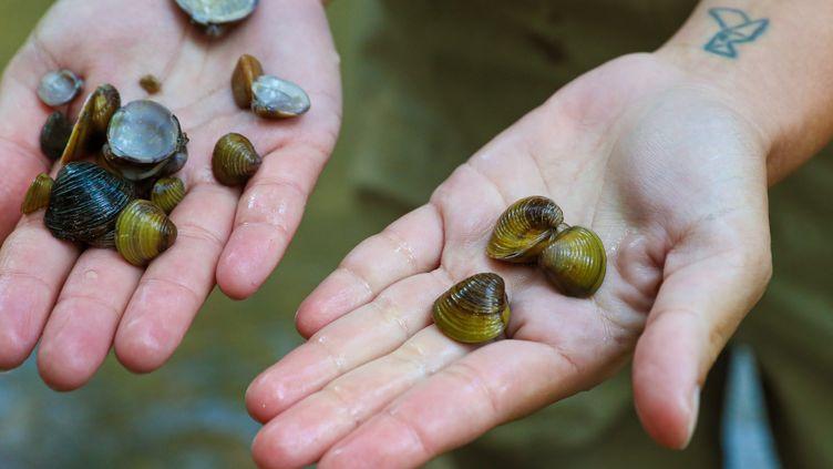 La corbicule, mollusque d'eau douce venu d'Asie, qui menacent les écosystèmes des cours d'eau en France (JAVIER CEBOLLADA / EFE / MAXPPP)