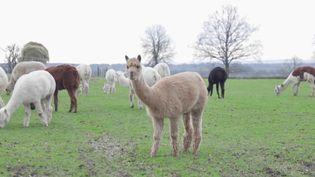 Agriculture : un élevage d'alpagas et de lamas donne un air de cordillères des Andes (France 2)