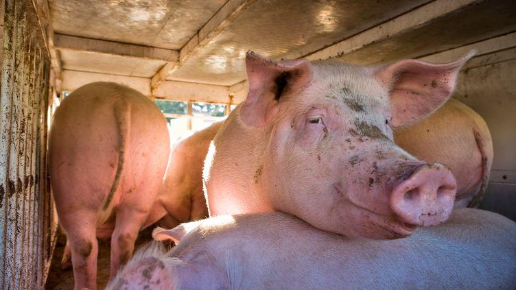 Des cochons transportés en France, en 2009. (JEAN-BAPTISTE STROBEL / BIOSPHOTO / AFP)