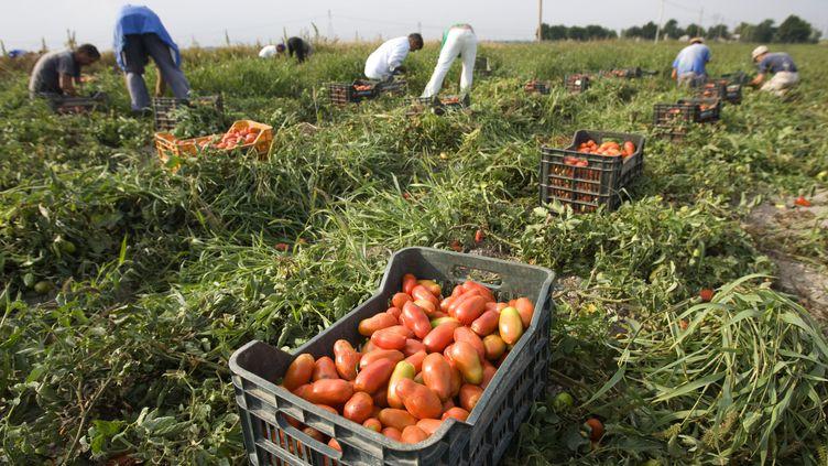 Des ouvriers agricoles ramassent des tomates dans la région de Foggia, dans le sud de l'Italie, en septembre 2009. (TONY GENTILE / REUTERS)