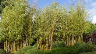 Jeu de couleur et de forme entre bambous jaunes et boules de buiscomme auJardin Kériel chez Guénolé Savina et Gaston Nahn.  (ISABELLE MORAND / RADIO FRANCE)