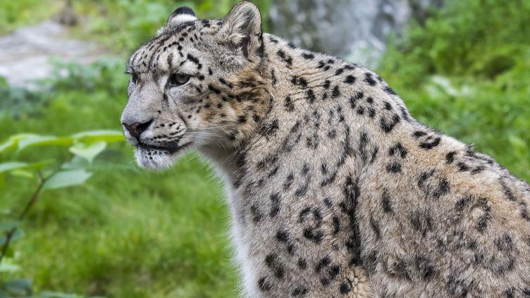 Un léopard des neiges, espèce originaire d'Asie centrale, dans un zoo en Belgique, le 13 octobre 2017. (PHILIPPE CLEMENT / BELGA MAG)