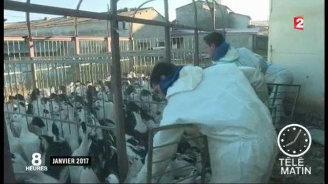 Grippe aviaire : vide sanitaire dans le sud-ouest