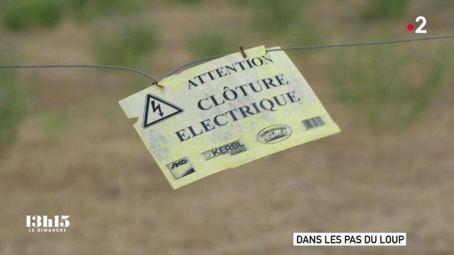 VIDEO. Clôtures électriques, chiens de troupeau, parc de nuit, caméras... : quand des éleveurs choisissent la cohabitation plutôt que l'affrontement avec le loup