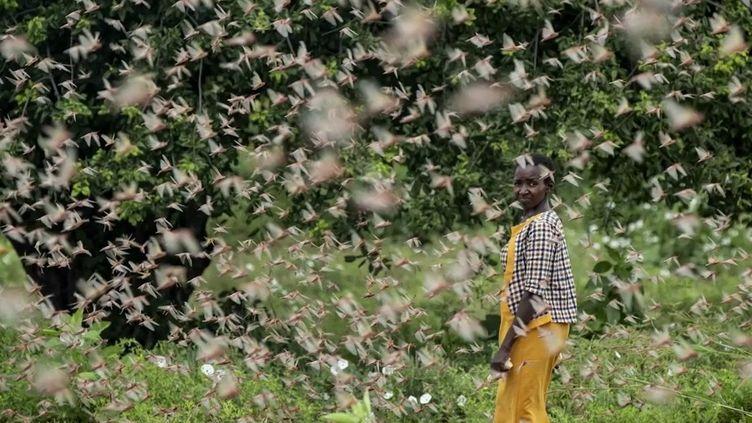 La Somalie a été déclarée en urgence nationale, car le pays subit les assauts de nuées de criquets sur les cultures, ravagées en quelques heures. Une situation qui dure depuis des semaines en Somalie, mais aussi au Kenya, et qui menace toute l'Afrique de l'Est. (FRANCE 2)