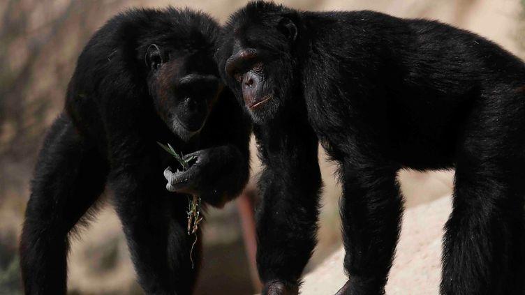 Chimpanzés (REUTERS/Amr Abdallah Dalsh)