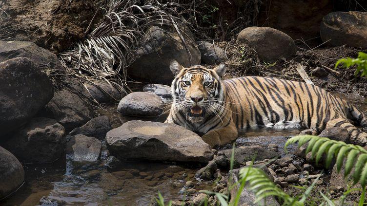 Un tigre de Sumatra àDharmasraya,en Indonésie, le 29 juillet2017. (DONAL HUSNI / NURPHOTO / AFP)