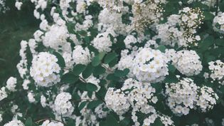 L'Achillée millefeuille en fleurs. (ZIVAN DAI / EYEEM / EYEEM)