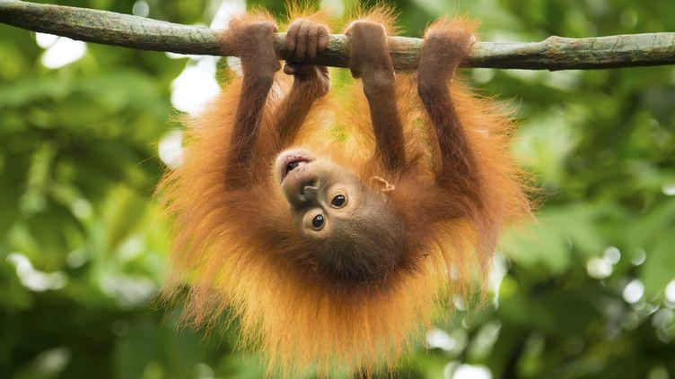 Un bébé orang-outan s'accroche à une branche d'arbre à Singapour, le5 novembre 2014. (MAXPPP)