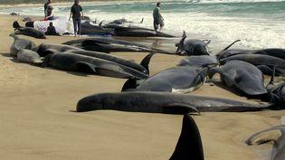 Des sauveteurs tentent de secourir des baleines-pilotes échouées sur une plage de Tasmanie, dans le sud de l'Australie, le 26 octobre 2005. (LIZ WREN / AP / SIPA)