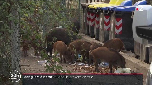 Italie : quand les sangliers envahissent Rome et les grandes villes