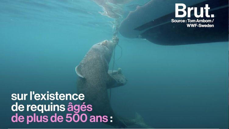 Selon certains articles, un requin du Groenland aurait fêté ses 512 ans, une information jugée fallacieuse par la communauté scientifique. (BRUT)