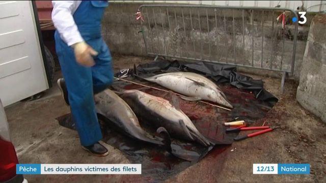 Pêche : les dauphins victimes des filets