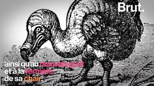 Le dodo, un mystérieux oiseau reconnaissable à son physique ingrat, a disparu en l'espace d'un siècle. Voici son histoire.