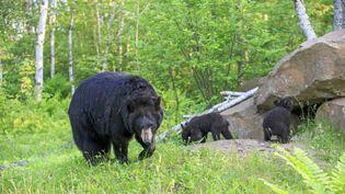 Un ours noir et ses petits, aux Etats-Unis, le 3 août 2017. (SYLVAIN CORDIER / BIOSPHOTO)