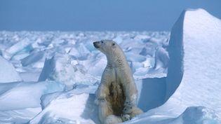 Un ours polaire sur la banquise arctique, le 17 juillet 2020. (STEVEN C. AMSTRUP / POLAR BEARS INTERNATIONAL / AFP)