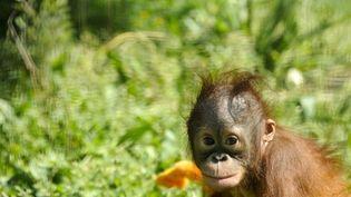 (Image prétexte) Baby Boo, un bébé orang-outan de 9 mois, au zoo de Madrid. Avril 2011. (AFP - Pedro Armestre)