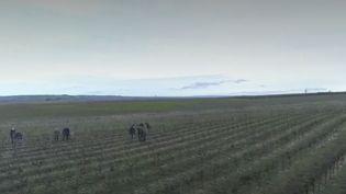 Vignes (FRANCEINFO)
