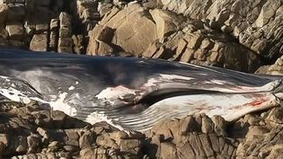 Le cétacé d'une dizaine de mètres a été retrouvé encastré sur les rochers, sans que l'onconnaissela cause de sa mort. (FRANCE 3)