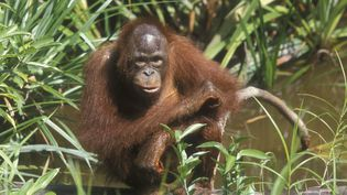 """Photo d'illustration. L'organisation britannique """"Intenational animal rescue"""" a mis en ligne le 5 juin 2018 la vidéo d'un orang-outan qui tente de défendre sa forêt d'un bulldozer. (AFP)"""