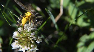 Photo d'une abeille prise le 8 juillet 2017 dans un jardin de Hédé-Bazouges, en Bretagne. (DAMIEN MEYER / AFP)
