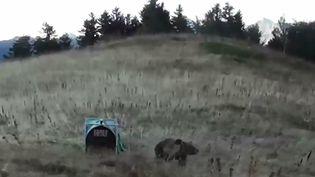 Une ourse femelle relâchée dans les Pyrénées, près Arthez-de-Béarn (Pyrénées-Atlantiques), le 5 octobre 2018, sur une image tirée d'une vidéo de l'Office national de la chasse et de la faune sauvage. (OFFICE NATIONAL DE LA CHASSE ET DE LA FAUNE SAUVAGE / AFP)