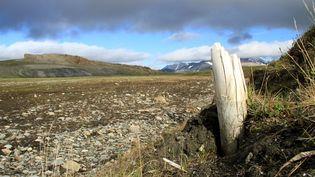 """Une défense de mammouth laineuxdans le permafrost, sur l'île de Wrangel (Sibérie), illustre la publication dans la revue """"Nature"""", mercredi 17 février, de l'annonce du séquençage de l'ADN le plus ancien jamais étudié. (LOVE DALEN / AFP)"""
