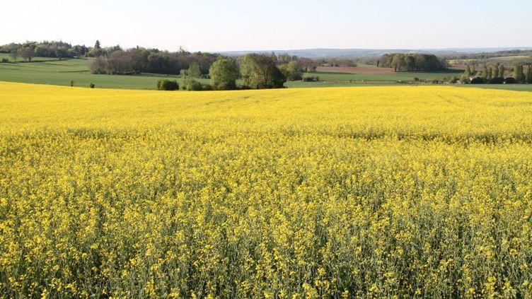 Le gouvernement présente ce vendredi un nouveau plan abeilles visant à limiter l'usage d'herbicides et de fongicides notamment dans les champs de colza. (STÉPHANIE BERLU / FRANCE-INFO)