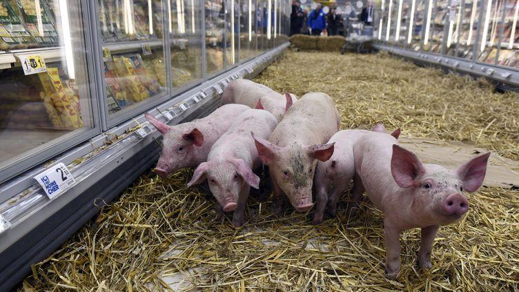 Des porcs dans un supermarché lors d'une action d'éleveurs de la FDSEA protestant contre les prix bas, à Rennes (Ille-et-Vilaine), le 7 février 2015. (DAMIEN MEYER / AFP)